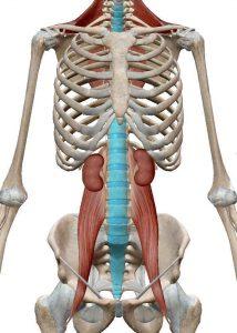 須賀川整体院、大腰筋:腸骨筋:腸腰筋、腎臓