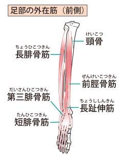 須賀川整体院、前脛骨筋