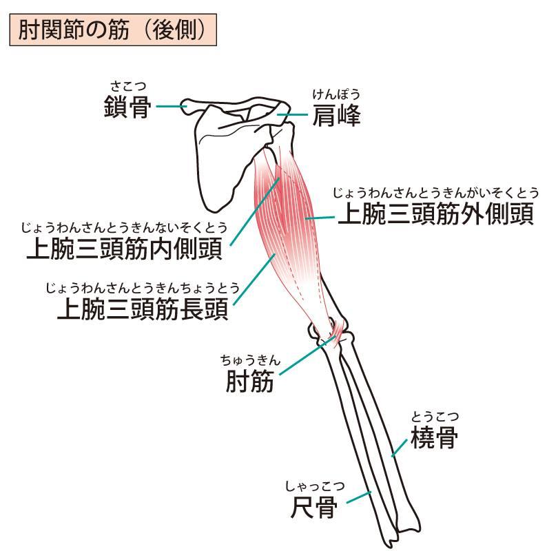 須賀川整体院、上腕三頭筋