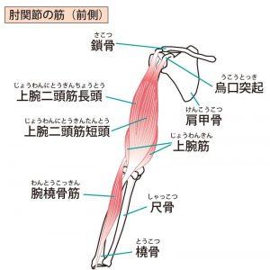 須賀川整体院、上腕二頭筋・上腕筋・腕橈骨筋・鎖骨